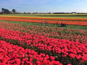 bikes-in-tulip-field