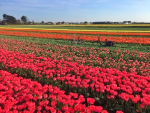 bikes-in-tulip-field